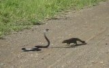 Kobra ve Firavun Faresi Karşı Karşıya