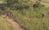 Leoparın Domuz Avı