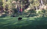 Golf Sahasını İstila Eden Bebek Ayılar