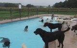 Havuzda Köpek Partisi